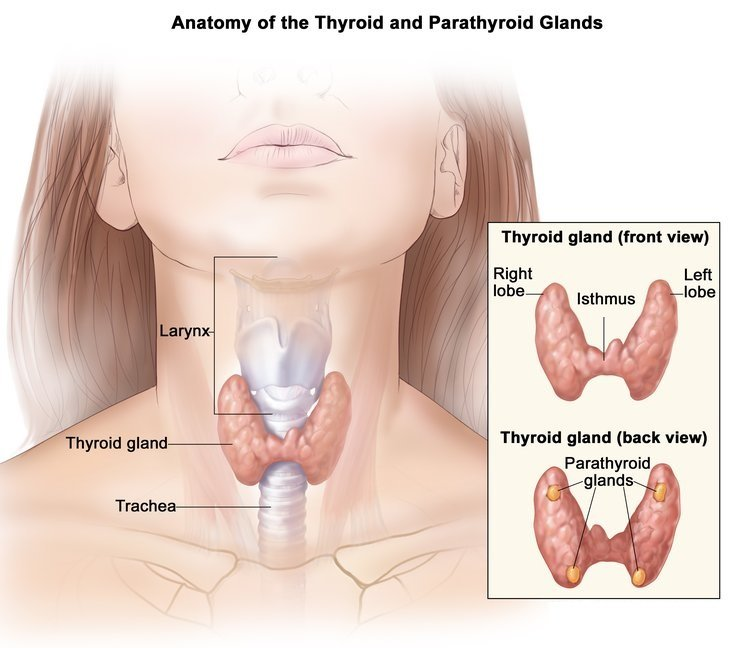 Anatomy of thyroid and parathyroid glands